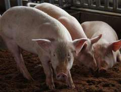 猪价破历史高点,国常会要求确保猪肉供应,生猪禁养、限养规定有...