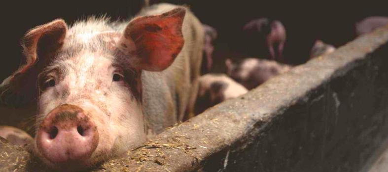 重大进展!非洲猪瘟疫苗真的要来?猪价连跌3周,板块蒸发600亿!超级周期要完?